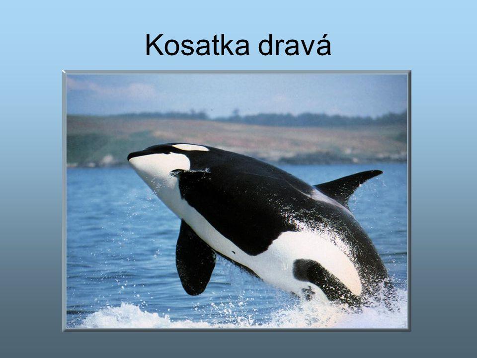 Kosatka dravá