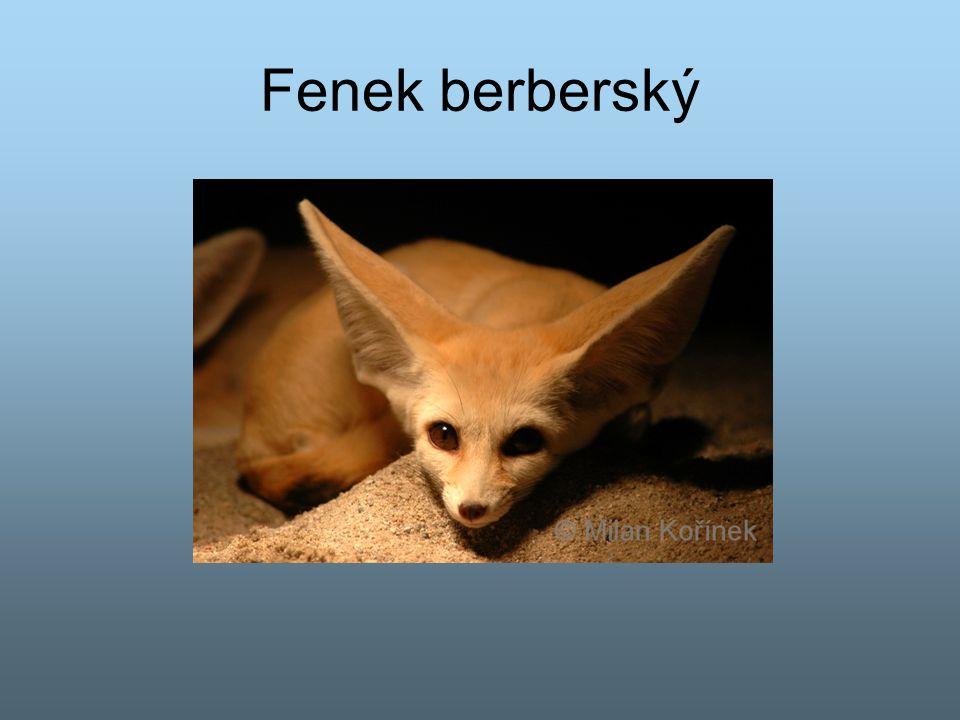 Fenek berberský