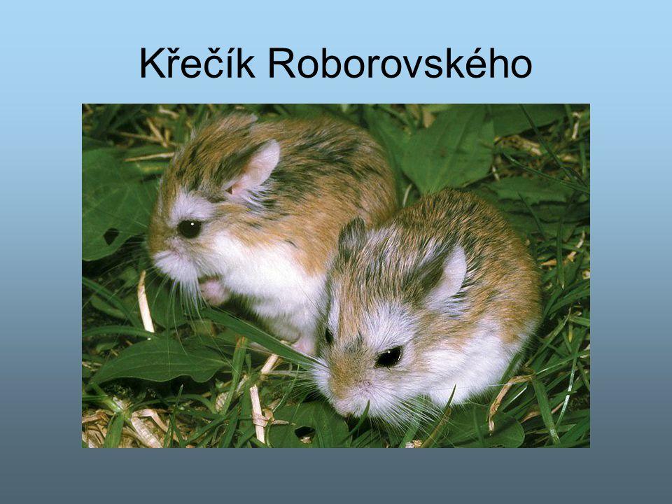 Křečík Roborovského