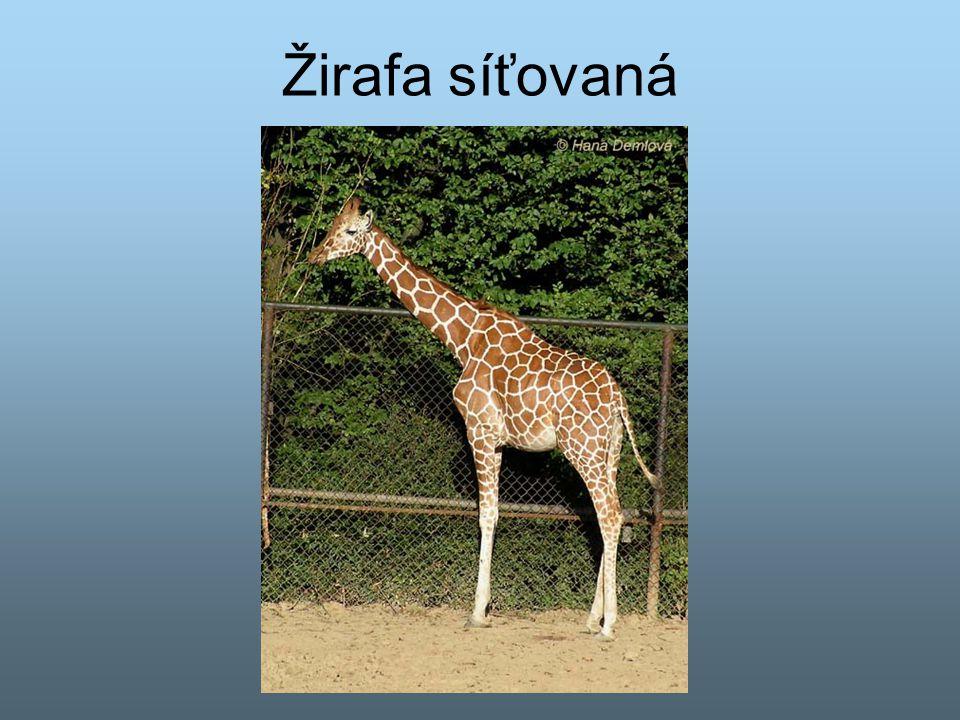 Žirafa síťovaná