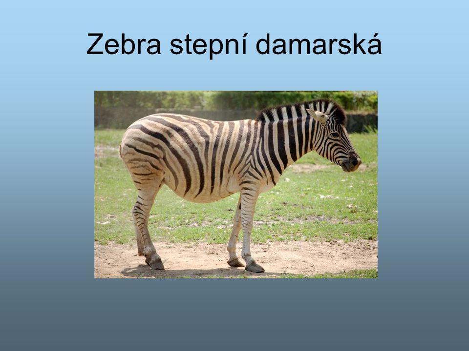 Zebra stepní damarská
