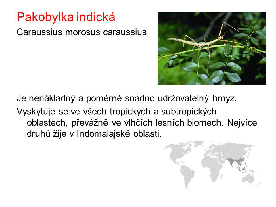 Pakobylka indická Caraussius morosus caraussius