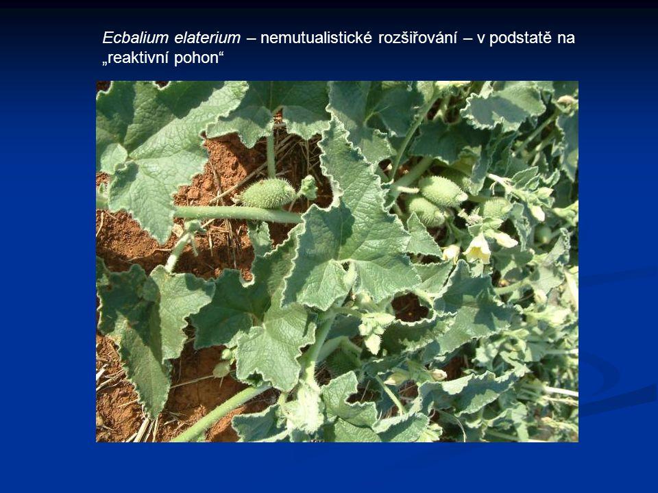 """Ecbalium elaterium – nemutualistické rozšiřování – v podstatě na """"reaktivní pohon"""