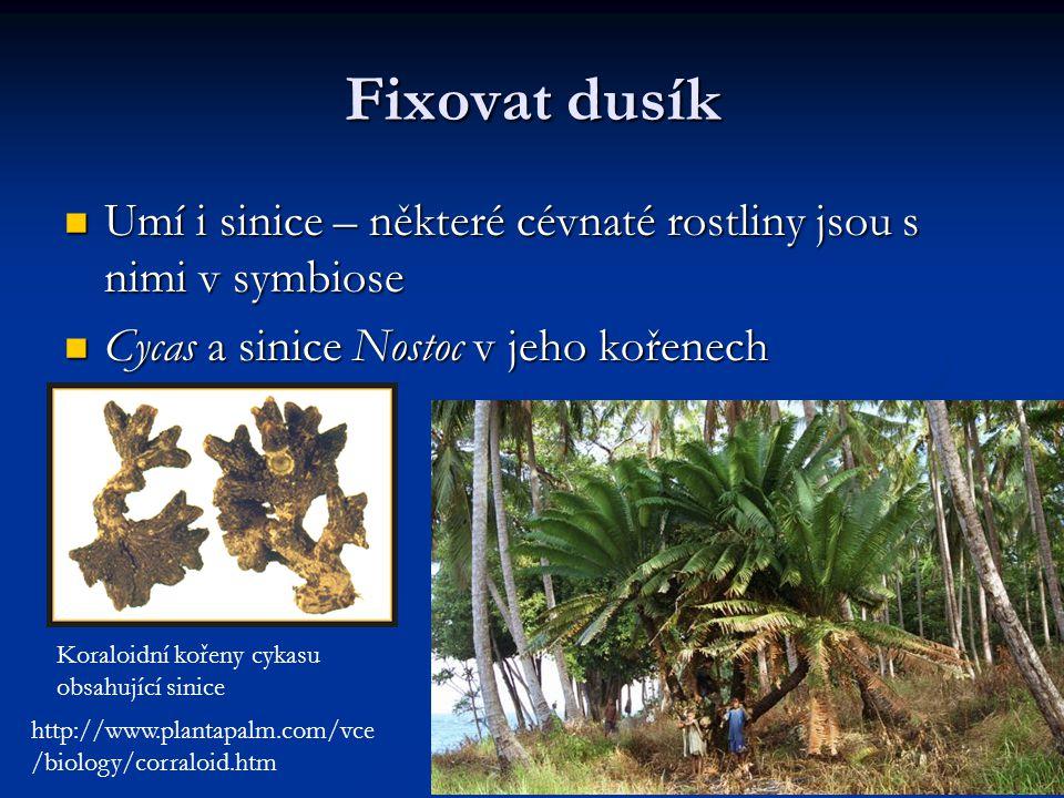 Fixovat dusík Umí i sinice – některé cévnaté rostliny jsou s nimi v symbiose. Cycas a sinice Nostoc v jeho kořenech.