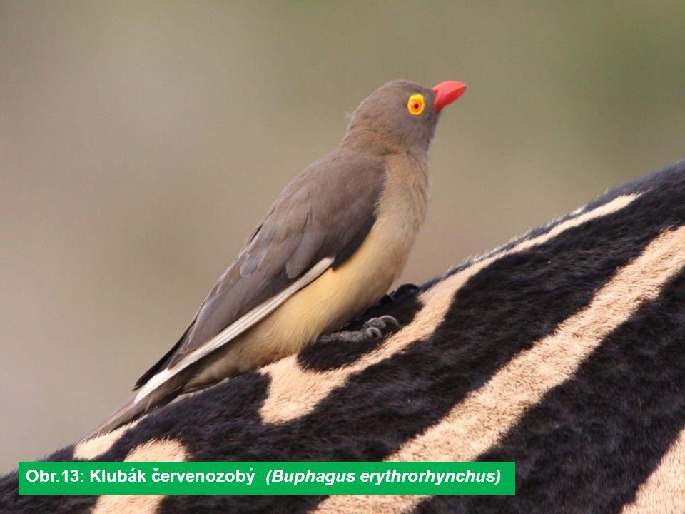 Obr.13: Klubák červenozobý (Buphagus erythrorhynchus)