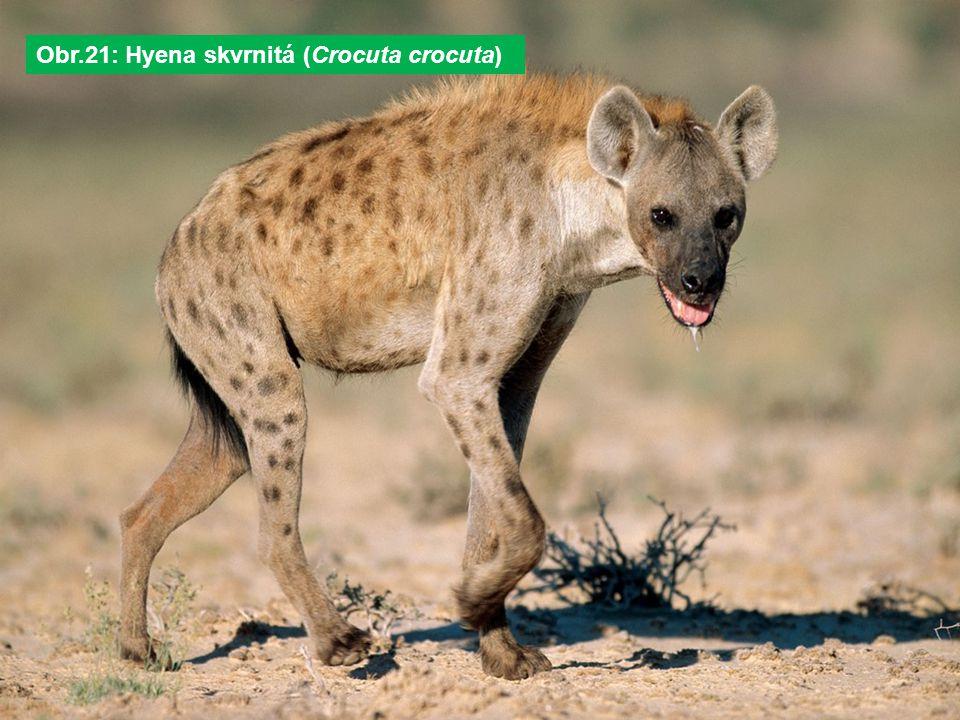 Obr.21: Hyena skvrnitá (Crocuta crocuta)