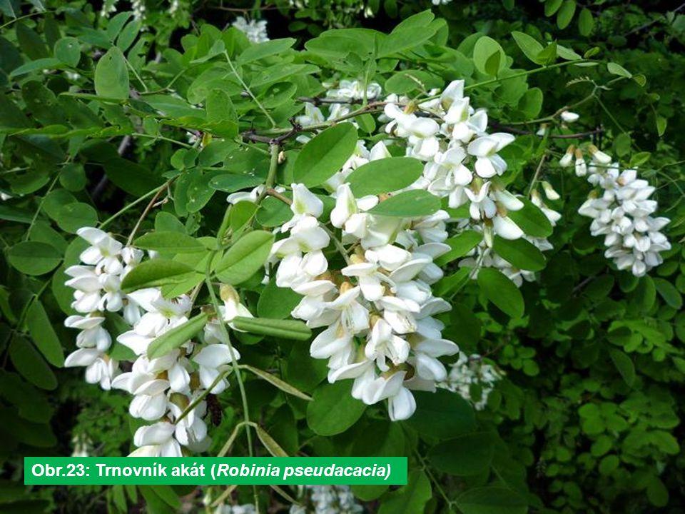 Obr.23: Trnovník akát (Robinia pseudacacia)