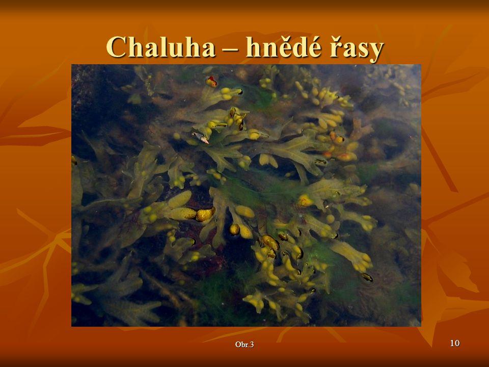Chaluha – hnědé řasy Obr.3