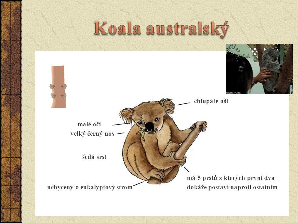 Koala australský chlupaté uši malé oči velký černý nos šedá srst