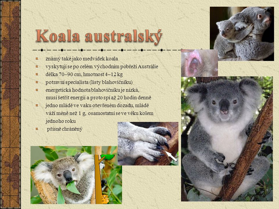 Koala australský známý také jako medvídek koala