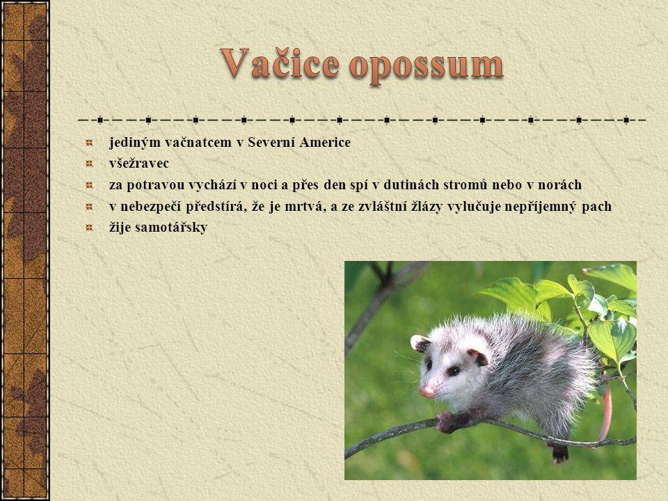 Vačice opossum jediným vačnatcem v Severní Americe všežravec