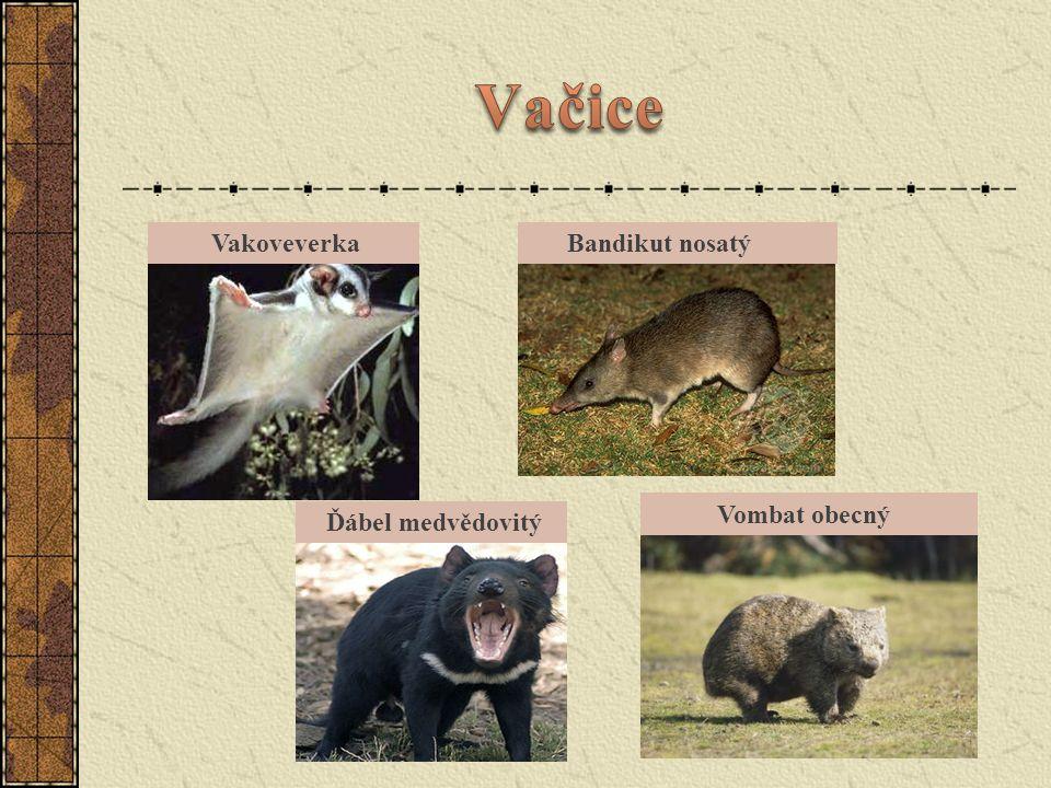 Vačice Vakoveverka Bandikut nosatý Vombat obecný Ďábel medvědovitý