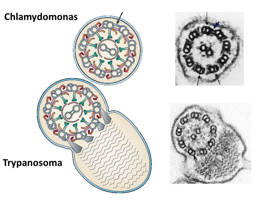 Chlamydomonas Trypanosoma