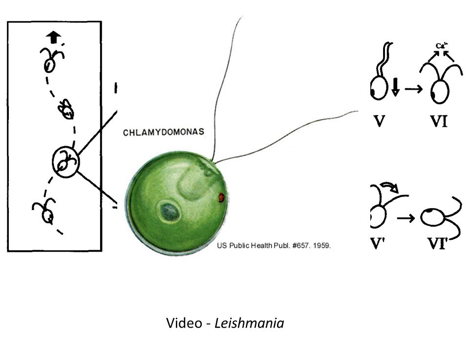 Video - Leishmania