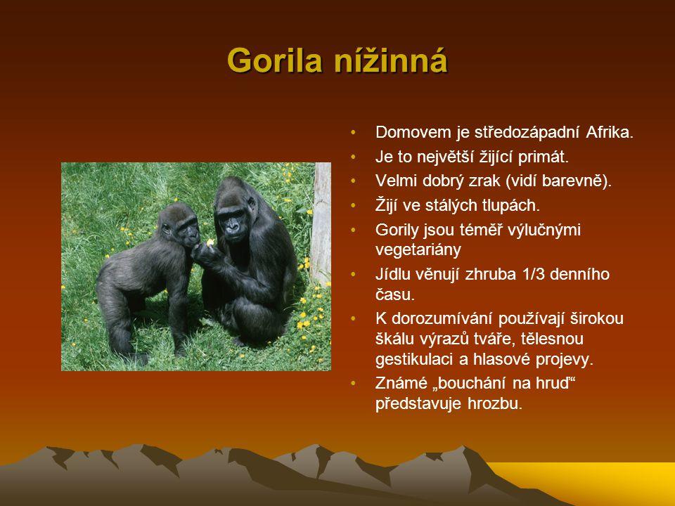 Gorila nížinná Domovem je středozápadní Afrika.