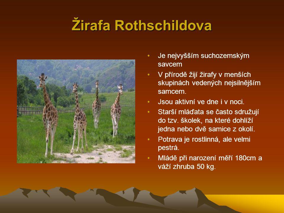 Žirafa Rothschildova Je nejvyšším suchozemským savcem