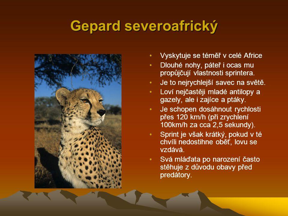 Gepard severoafrický Vyskytuje se téměř v celé Africe