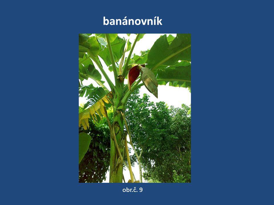 banánovník obr.č. 9