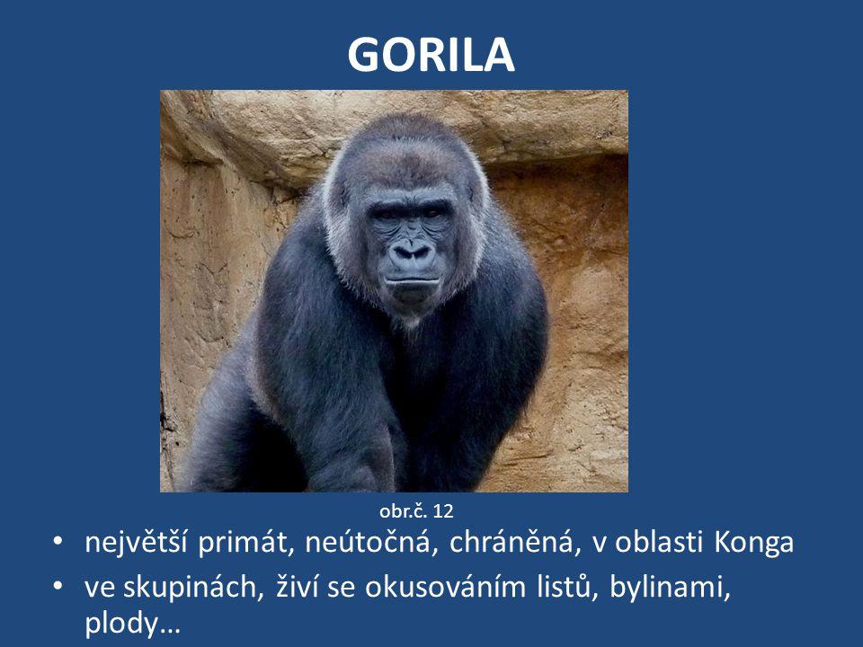 GORILA největší primát, neútočná, chráněná, v oblasti Konga