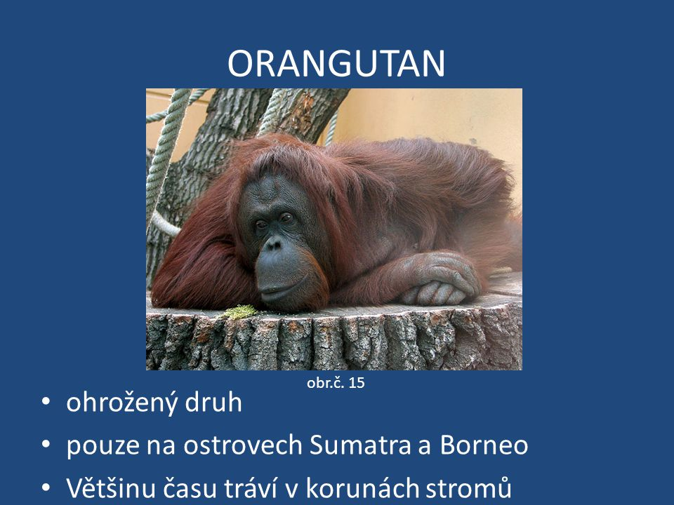 ORANGUTAN ohrožený druh pouze na ostrovech Sumatra a Borneo