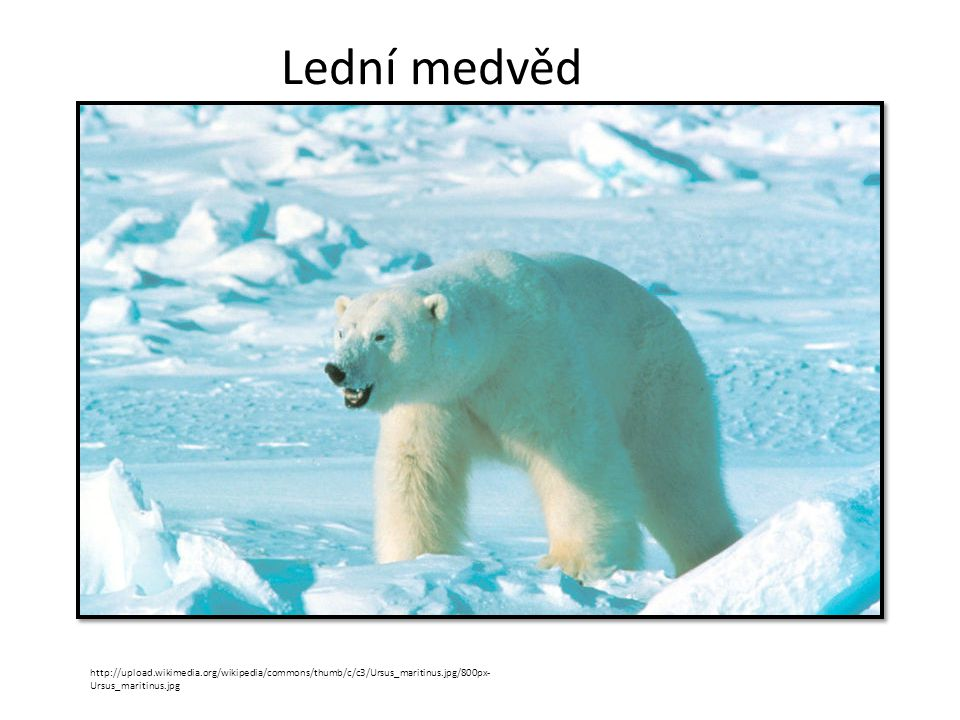 Lední medvěd http://upload.wikimedia.org/wikipedia/commons/thumb/c/c3/Ursus_maritinus.jpg/800px-Ursus_maritinus.jpg.