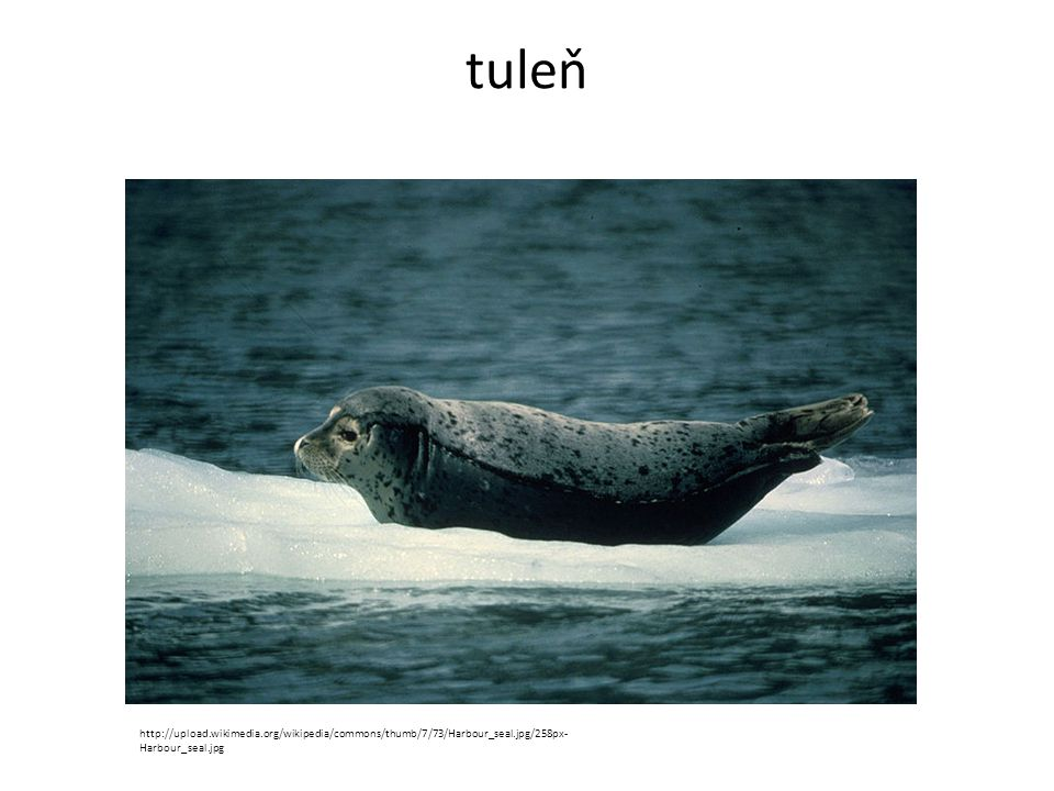tuleň http://upload.wikimedia.org/wikipedia/commons/thumb/7/73/Harbour_seal.jpg/258px-Harbour_seal.jpg.
