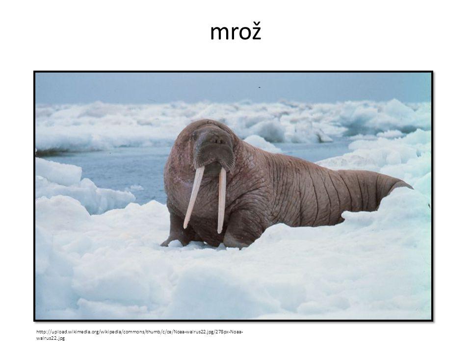 mrož http://upload.wikimedia.org/wikipedia/commons/thumb/c/ce/Noaa-walrus22.jpg/278px-Noaa-walrus22.jpg.