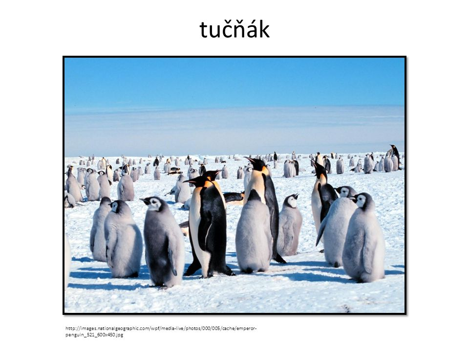tučňák http://images.nationalgeographic.com/wpf/media-live/photos/000/005/cache/emperor-penguin_521_600x450.jpg.