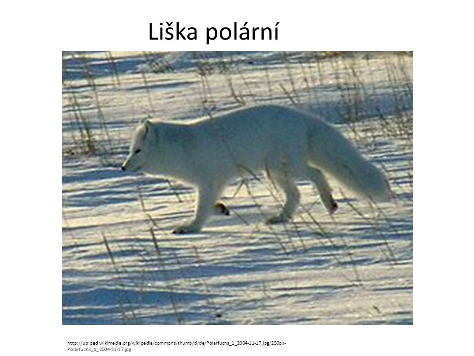 Liška polární http://upload.wikimedia.org/wikipedia/commons/thumb/d/de/Polarfuchs_1_2004-11-17.jpg/250px-Polarfuchs_1_2004-11-17.jpg.