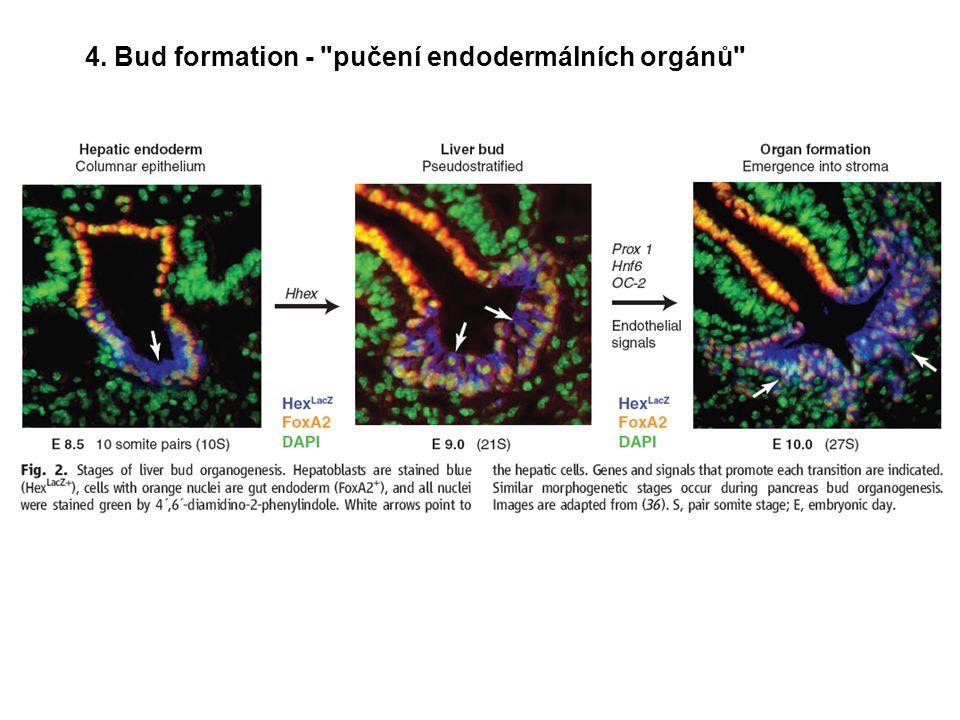 4. Bud formation - pučení endodermálních orgánů