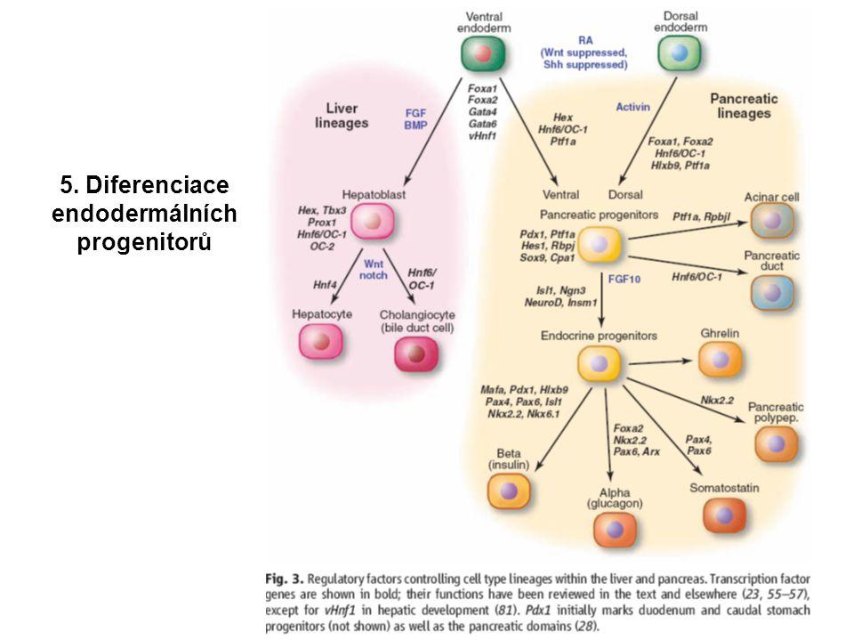 5. Diferenciace endodermálních progenitorů