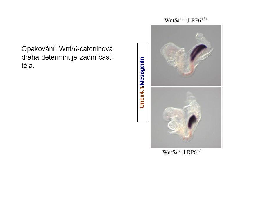 Opakování: Wnt/-cateninová dráha determinuje zadní části těla.