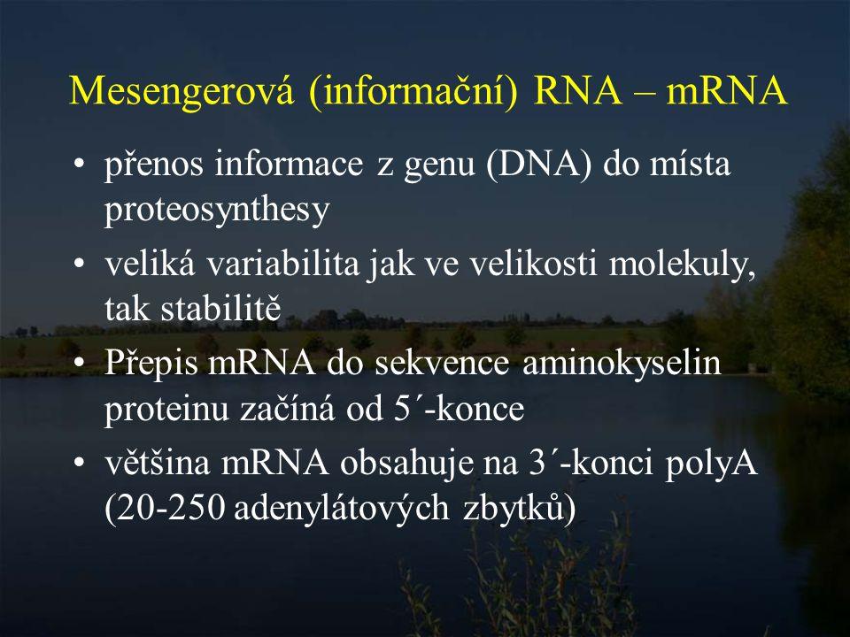 Mesengerová (informační) RNA – mRNA