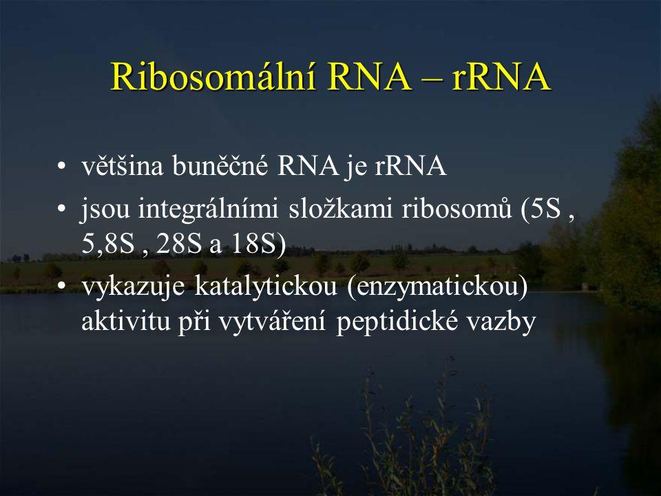 Ribosomální RNA – rRNA většina buněčné RNA je rRNA