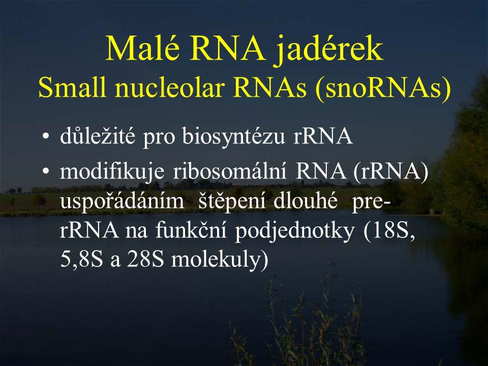 Malé RNA jadérek Small nucleolar RNAs (snoRNAs)