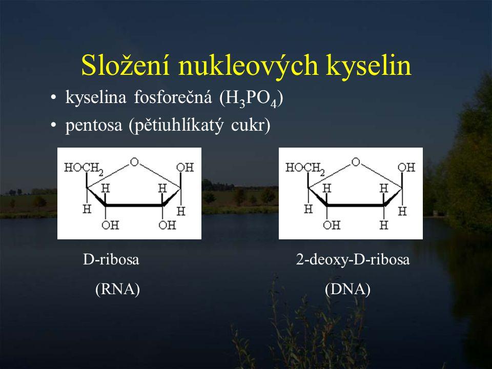 Složení nukleových kyselin