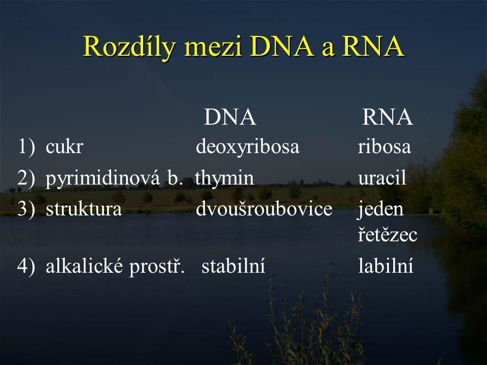 Rozdíly mezi DNA a RNA DNA RNA cukr deoxyribosa ribosa