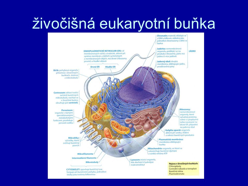 živočišná eukaryotní buňka
