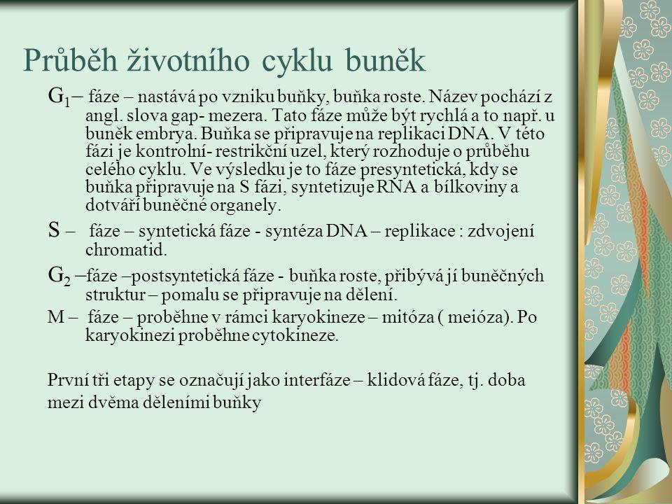 Průběh životního cyklu buněk