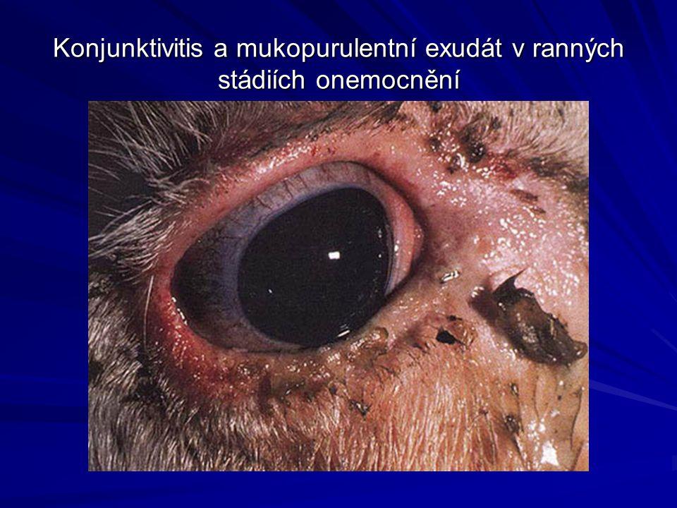 Konjunktivitis a mukopurulentní exudát v ranných stádiích onemocnění