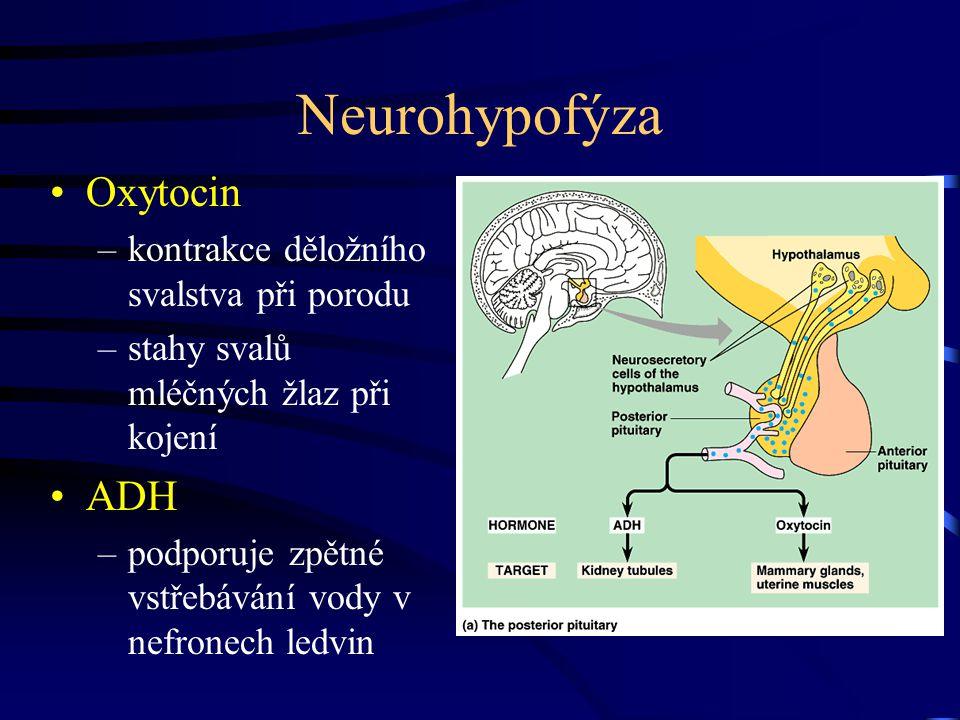Neurohypofýza Oxytocin ADH kontrakce děložního svalstva při porodu