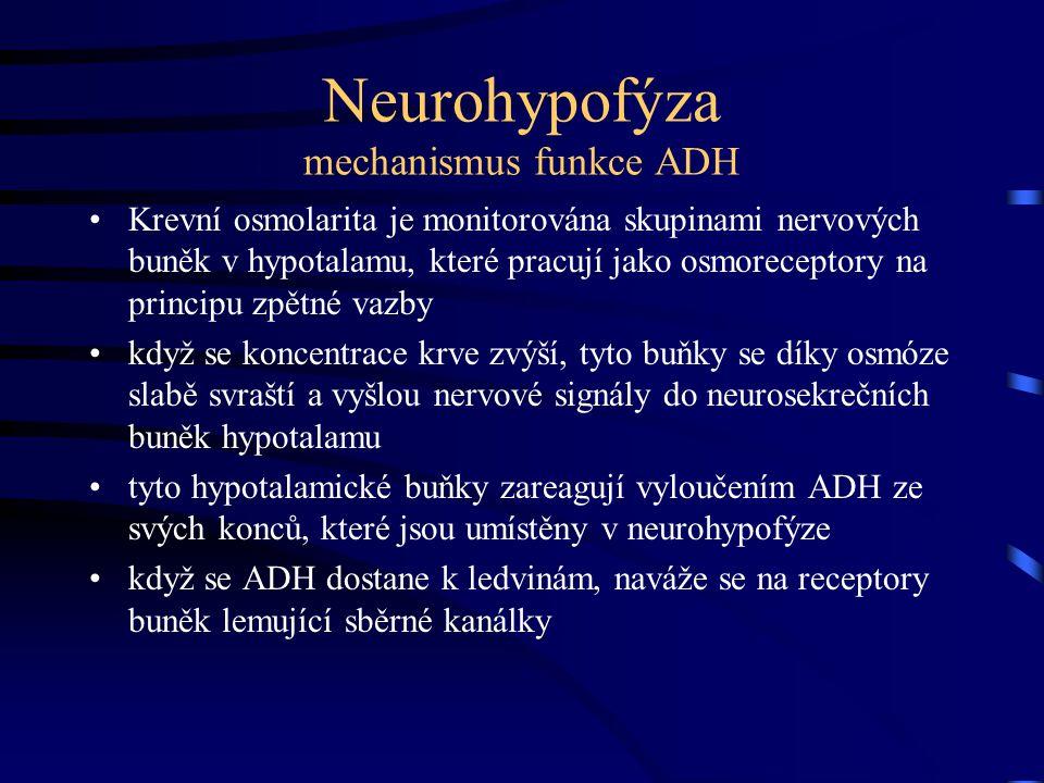 Neurohypofýza mechanismus funkce ADH