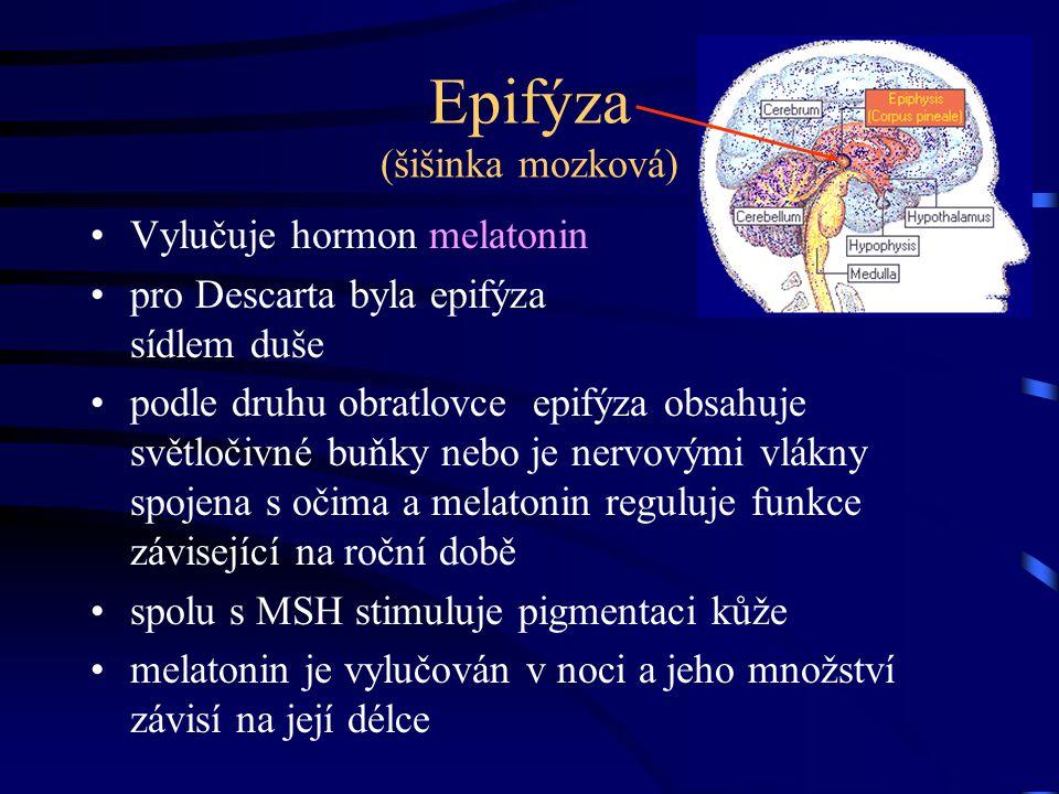 Epifýza (šišinka mozková)
