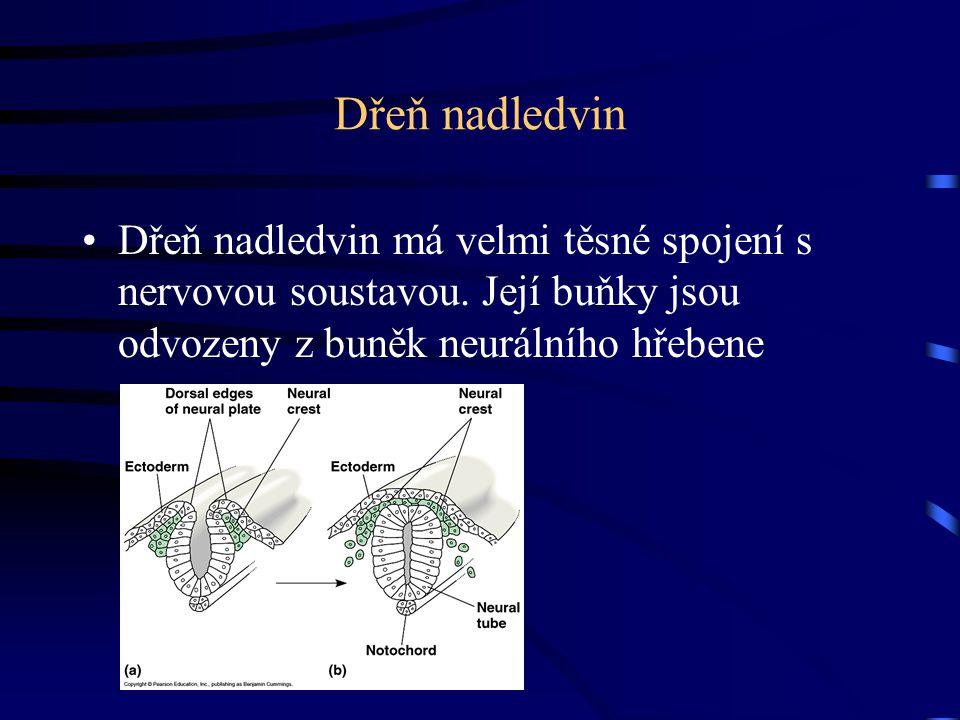 Dřeň nadledvin Dřeň nadledvin má velmi těsné spojení s nervovou soustavou.
