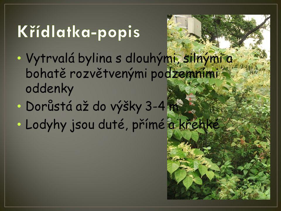 Křídlatka-popis Vytrvalá bylina s dlouhými, silnými a bohatě rozvětvenými podzemními oddenky. Dorůstá až do výšky 3-4 m.