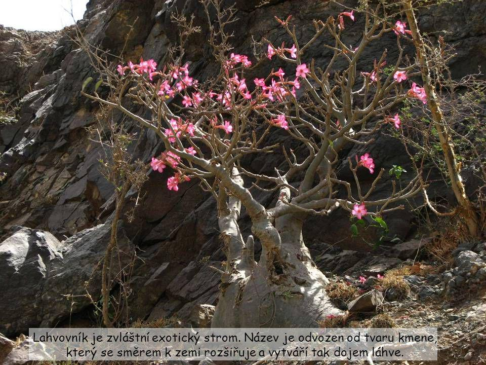 Lahvovník je zvláštní exotický strom
