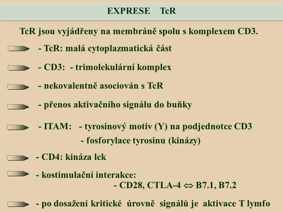 EXPRESE TcR TcR jsou vyjádřeny na membráně spolu s komplexem CD3. - TcR: malá cytoplazmatická část.