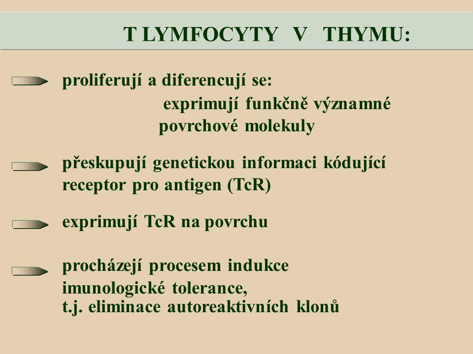 T LYMFOCYTY V THYMU: proliferují a diferencují se: