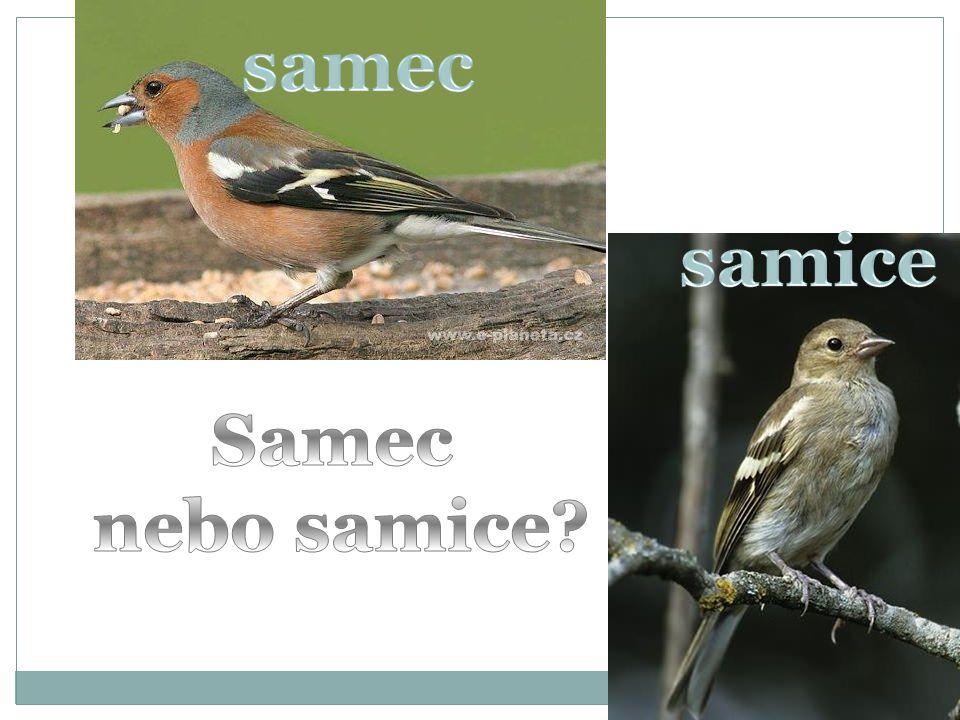samec samice Samec nebo samice