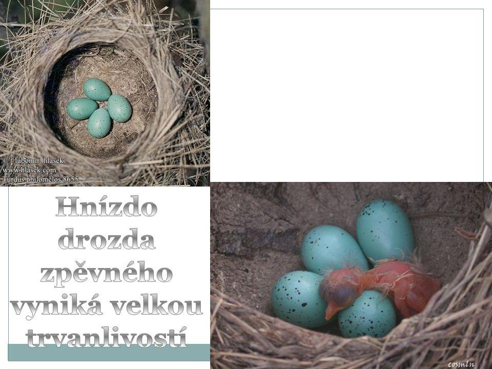 Hnízdo drozda zpěvného vyniká velkou trvanlivostí